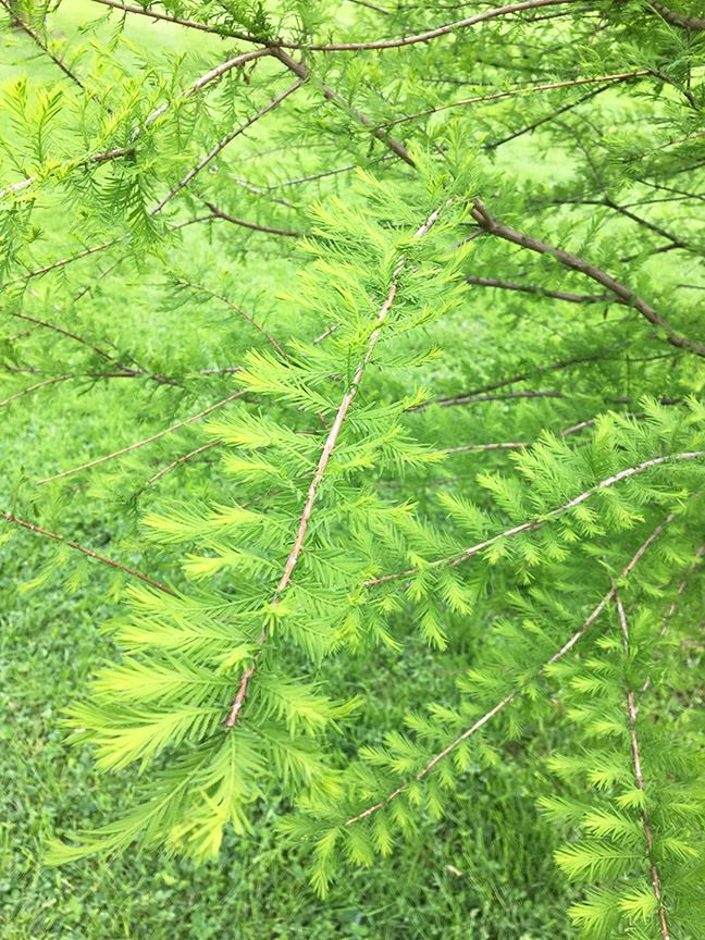 taxodium distichum 2